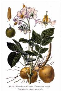 Solanum_tuberosum